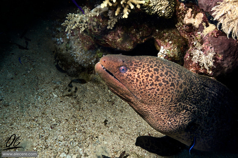 A Nice Fellow - Giant Moray (Gymnothorax javanicus) shot at Shark and Yolanda.