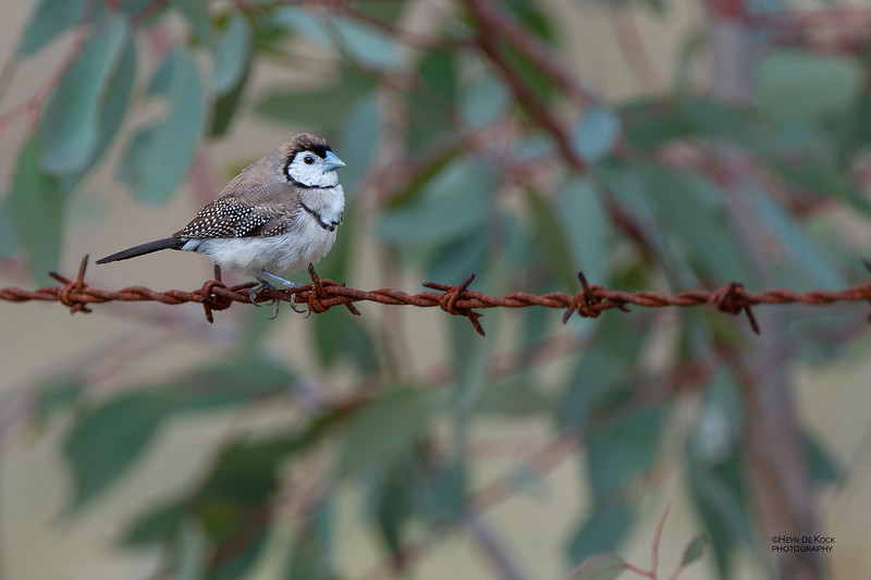 Double-barred Finch, Capertee Valley, NSW, Sep 2013-1.jpg