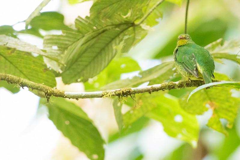 Scarlet-breasted Fruiteater - Record - Sumaco, Ecuador