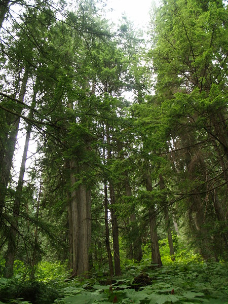 Giant Cedars Trail, Mt. Revelstoke Park, British Columbia (August 2006).