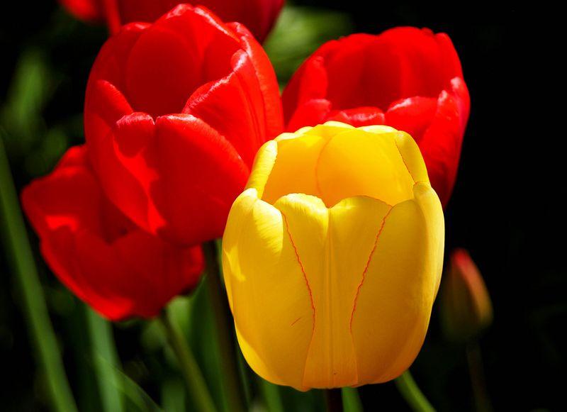 2194 red & yellow tulips.jpg