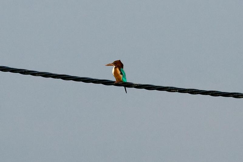 White-throated Kingfisher at Long Valley, Hong Kong, China (11-8-08).psd