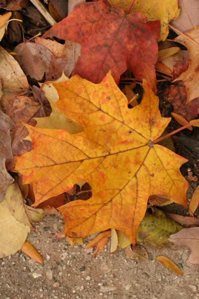 autumnal leaves 2013 002.JPG