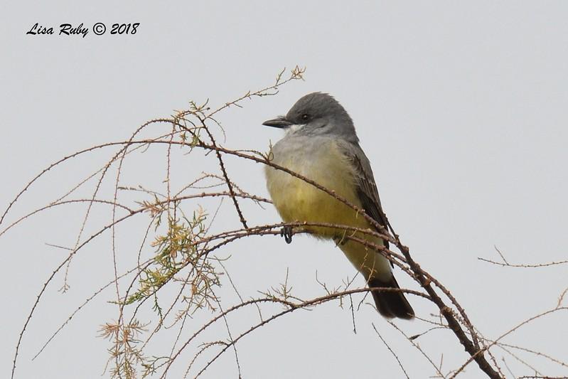 Cassin's Kingbird  - 1/19/2018 - Lake Murray, Cowles Point