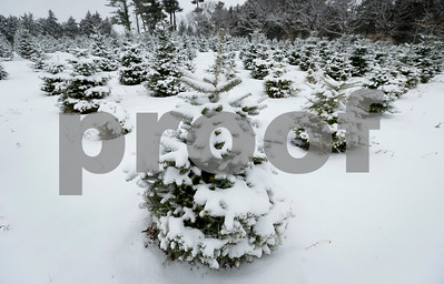 growers-grateful-for-higher-christmas-tree-prices