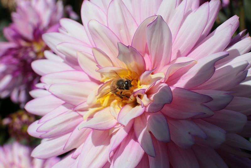 Bee on Pink Dahlia