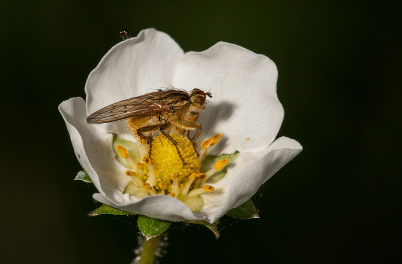 Fly on strawberry flower.