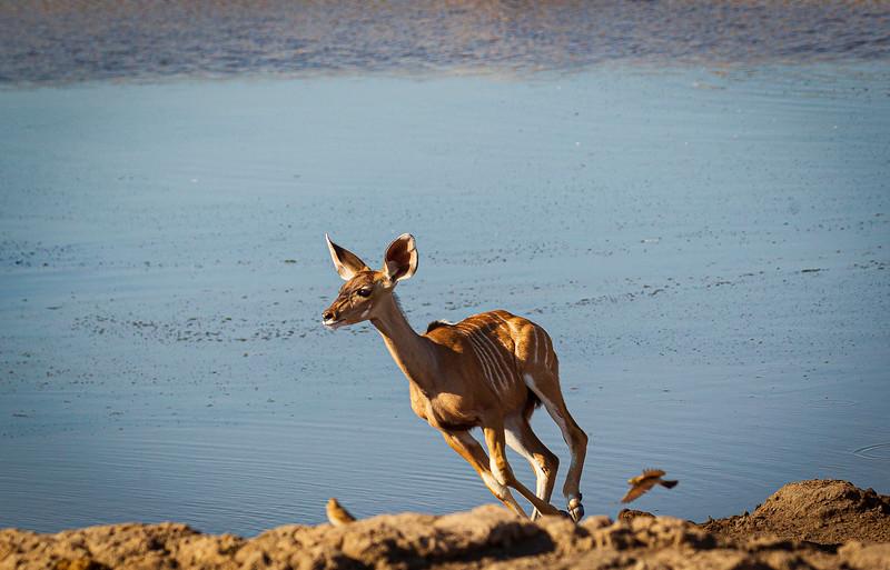 Kudu calf alarm 3
