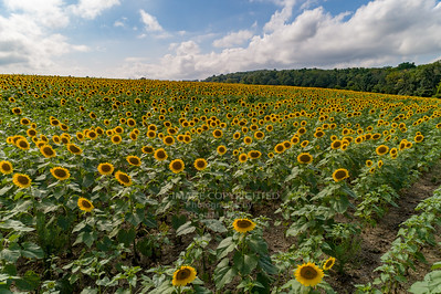 9/2/18 Sunflowers - Drone Photos