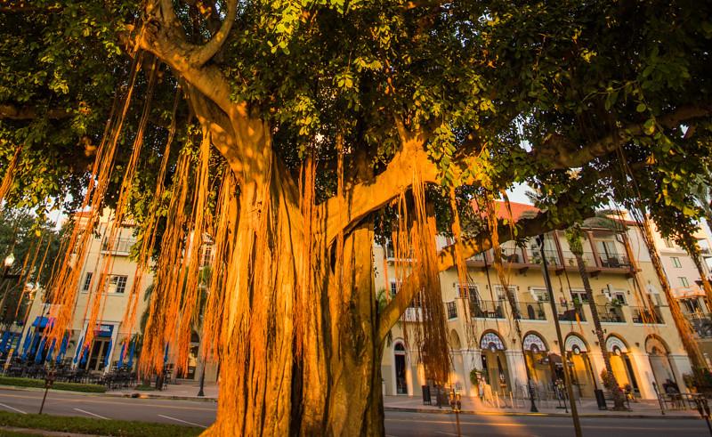 Banyan Tree 41