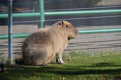 Edmonton Valley Zoo - Capybara