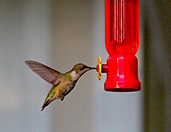 Hummingbird Video