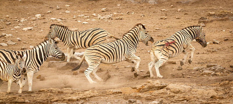 Zebra battle 1