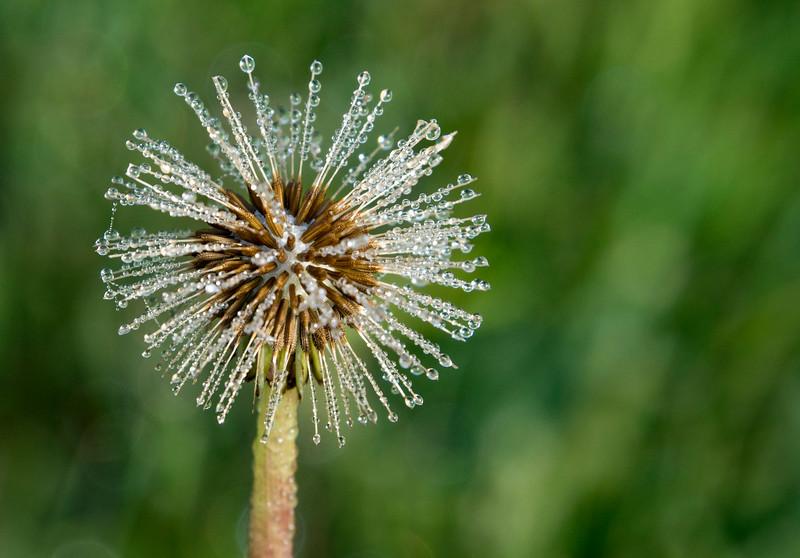 Taraxacum-officinale-dandelion-dew-drops3.jpg