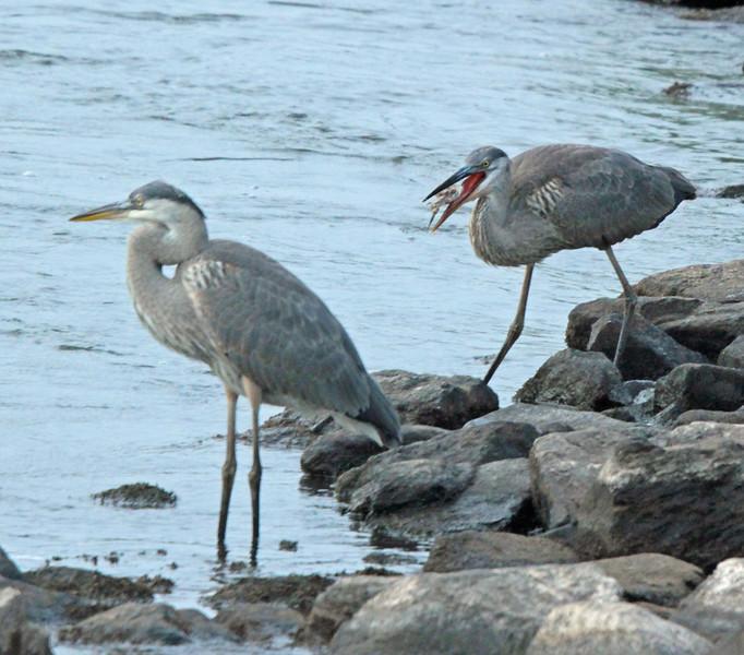 2 great blue herons - one eating