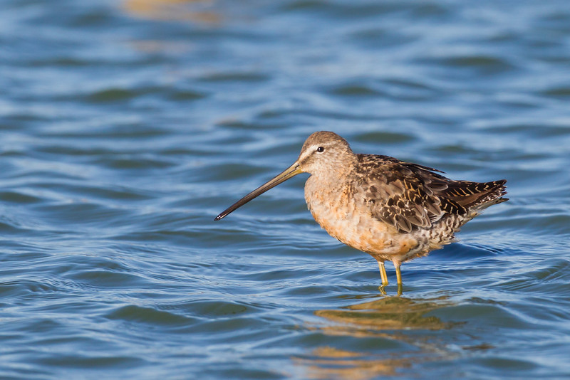 Long-billed Dowitcher - Loral angle, rufous coloration - Redwood Shores, CA, USA