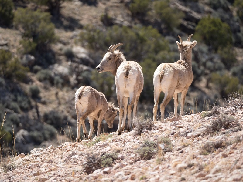 Three Bighorn Ewes