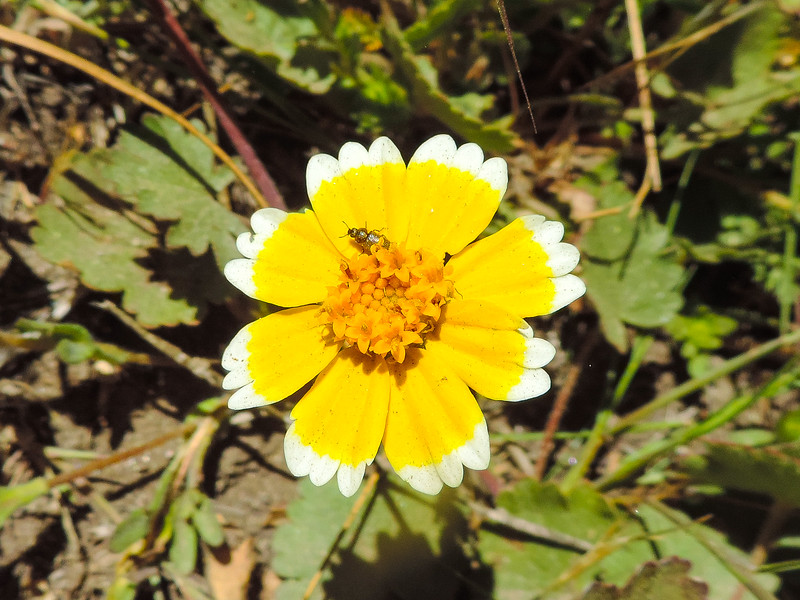 Tidy-tips  (Layia platyglossa) ASTERACEAE