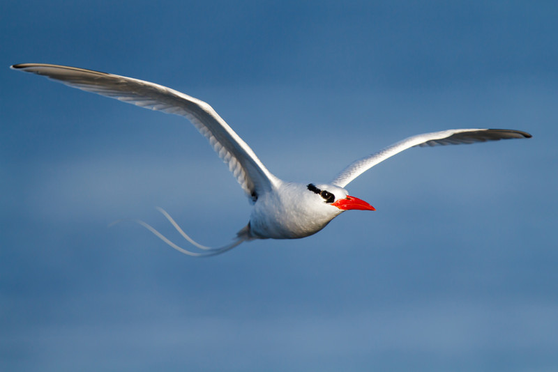 Red-billed Tropicbird at Champion Island, Galapagos, Ecuador (11-22-2011) - 113.jpg