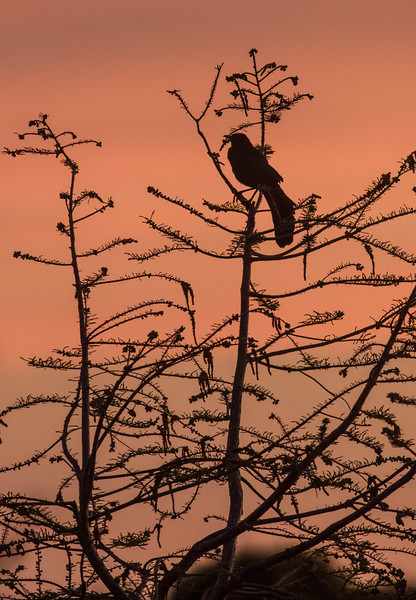 Great-tailed Grackle at Dawn