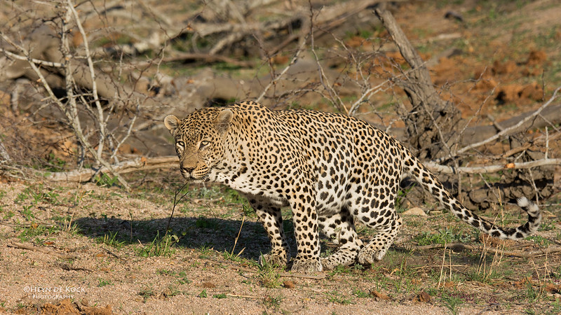 Leopard (Tingana), Sabi Sands (EP), SA, Oct 2016-6.jpg