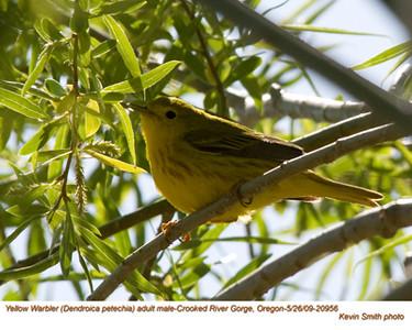 YellowWarblerM20956.jpg