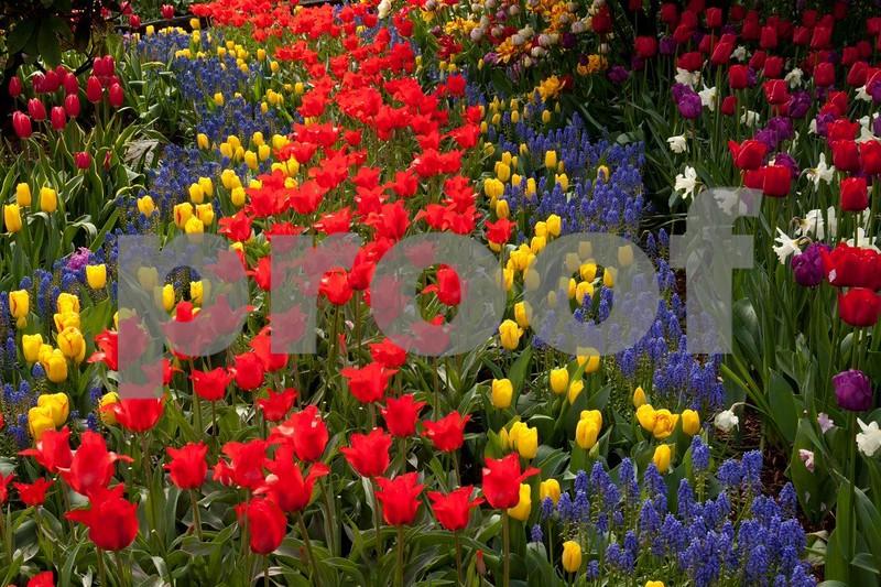 Tulips 5319.jpg