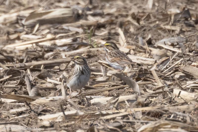 Savannah Sparrow , in Area 2 (Photo by Andrea Kingsley)