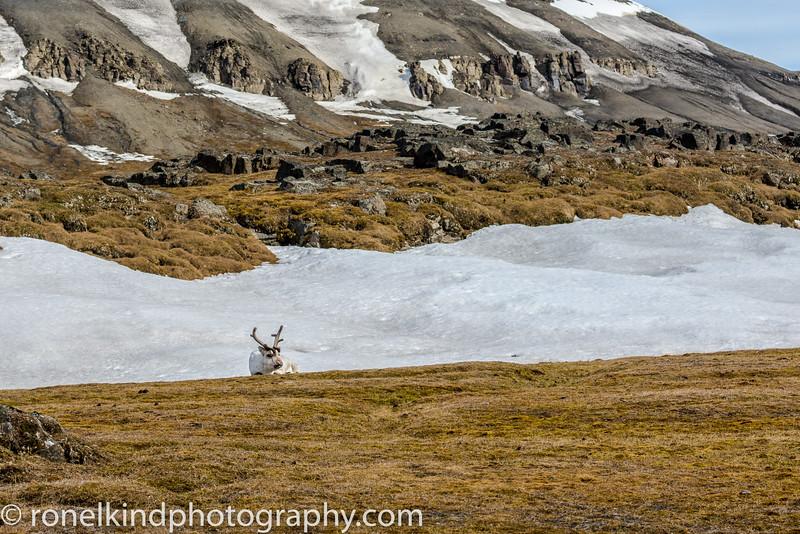 Doleritt Point Island Reindeer