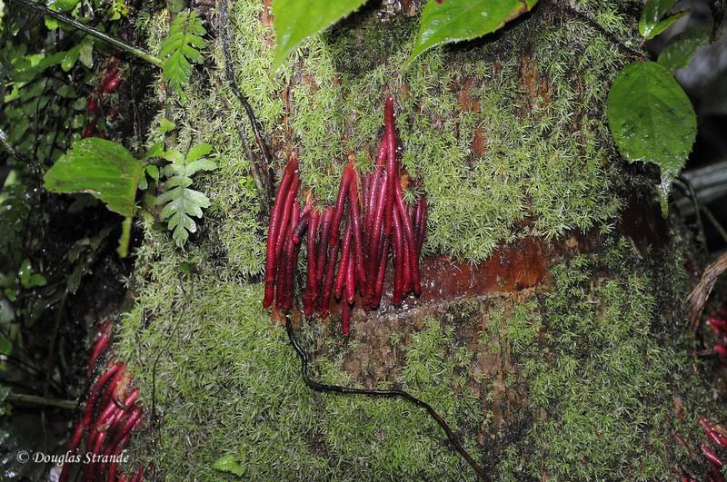 Sarapiqui: roots