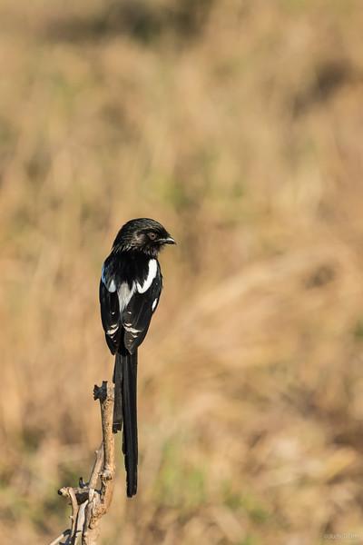Tarangire National Park Lark Bunting -2.jpg