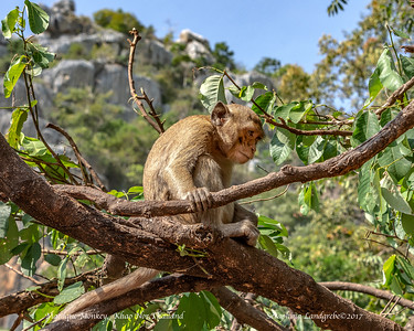 Macaque Monkeys, Thailand