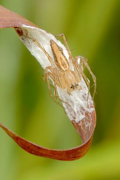 Lynx Spider_ CYX.JPG