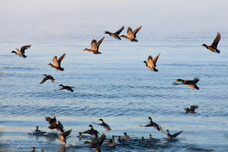 Sub-Zero Ducks