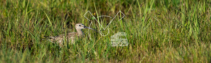 whimbrel hiding in a grassland in Iceland