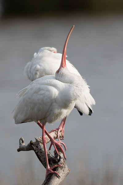 White Ibis OBX 2019-4.jpg