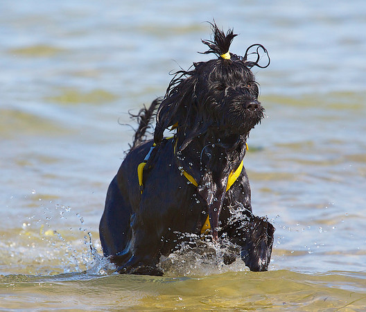 Portuguese Water Dogs - Specialty - 2012