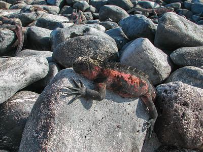Lizards - Ecuador