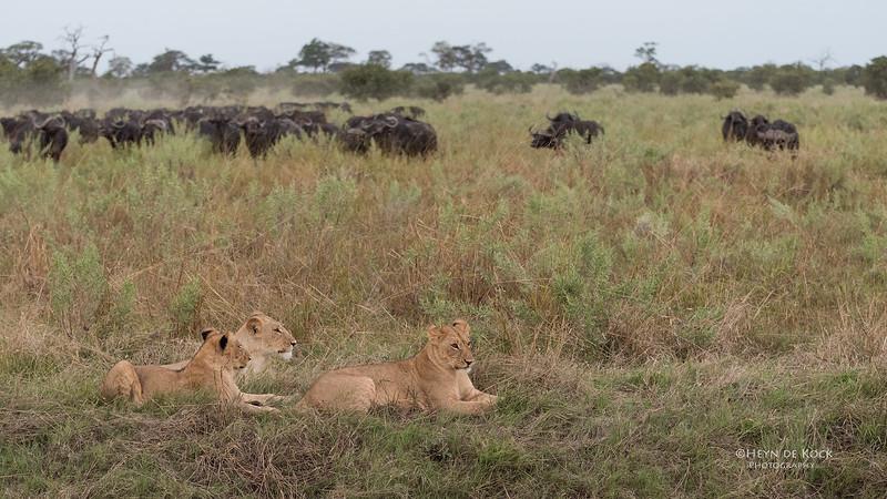African Lion & Buffalo, Savuti, Chobe NP, Botswana, May 2017-42.jpg