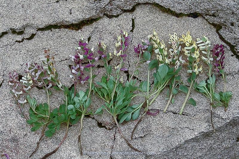 Corydalis maracandica