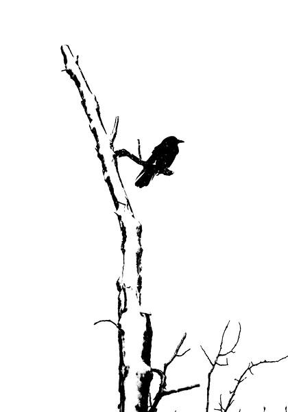 American Crow CR4 Carlton Co MN IMG_7002.jpg
