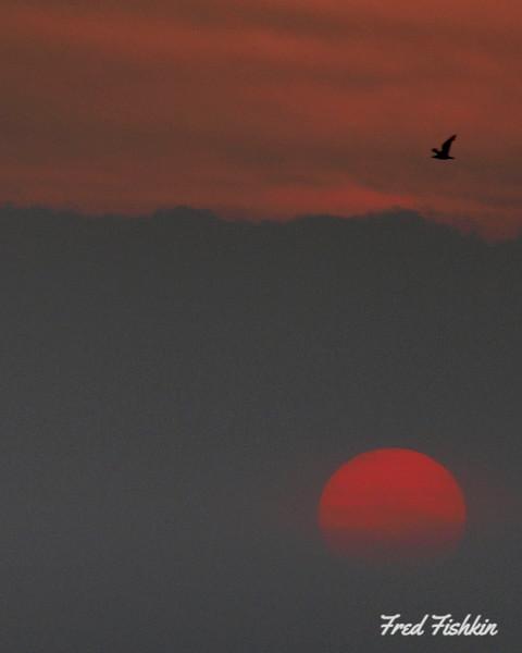 gull sunset.jpg