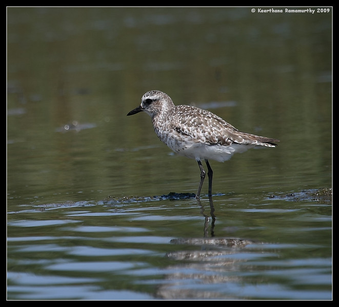 Black-Bellied Plover, Robb Field, San Diego River, San Diego County, California, August 2009