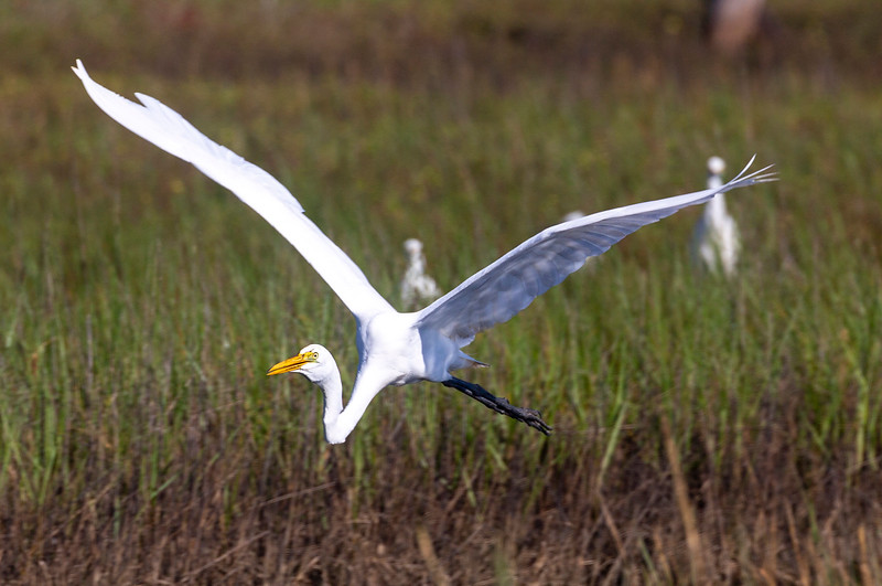 A Great Egret come in to land ...