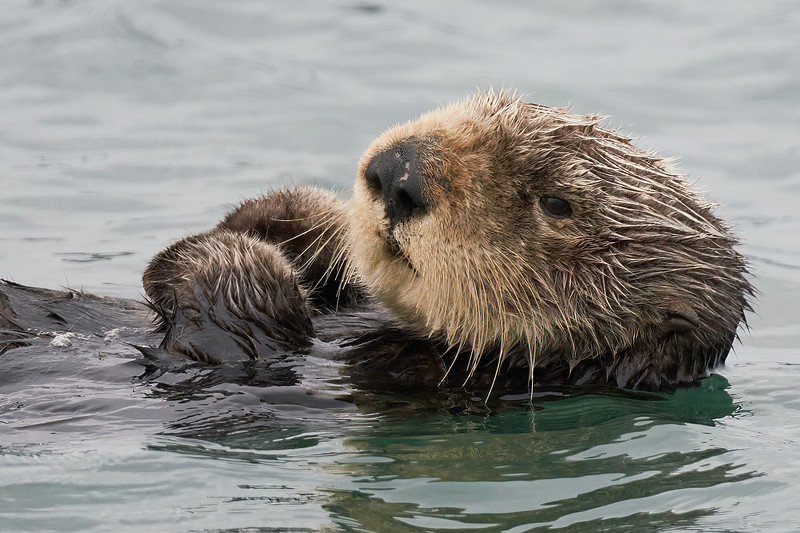 Sea Otter in Elkhorn Slough in Moss Landing