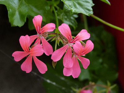 BO's geraniums