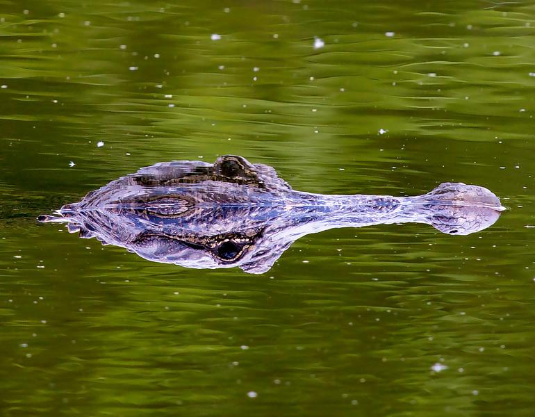 Alligator ... Which way is up?