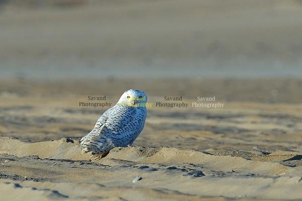 12-30-16 Snowy Owl
