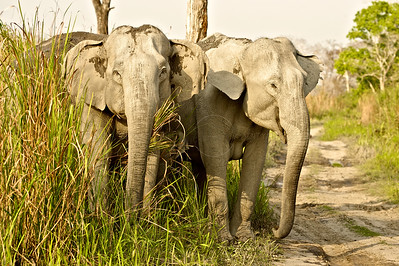 Two aggressive elephants crossing a forest road in Kaziranga national park