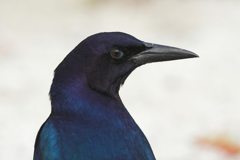 Portrait of a Boat-tailed Grackle